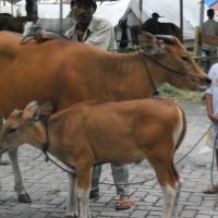 Livestock Expo 2012 Di Aie Pacah, Padang